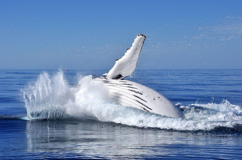 Sunshine Coast Whale Watching